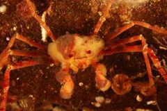 Inachus - Anemone crab. This underwater picture was taken near L'ile ronde iin the Bay of Brest, Brittany in August 2011 Royalty Free Stock Images