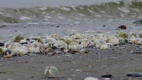 Inaequivalvis di Anadara - mollusco bivalve, un invasore nel Mar Nero, specie dilaganti stock footage