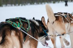 The race with the sled has begun. Inari, Lapland, Finland - mar 2015 : the race with the sled has begun. Dogs are racing by pulling the sled thanks to the Stock Images