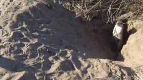 Inauris de Xerus d'écureuils d'au sol de cap à l'entrée de terrier clips vidéos