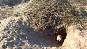 Inauris de Xerus d'écureuils d'au sol de cap à l'entrée de terrier banque de vidéos