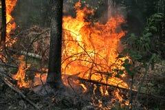 Incêndio florestal Imagens de Stock