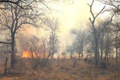 Incêndio florestal selvagem Imagens de Stock