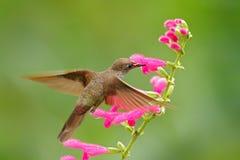 Inca de Brown del colibrí, wilsoni de Coeligena, volando al lado de la flor rosada hermosa, floración rosada en el fondo, Ecuador Fotografía de archivo libre de regalías