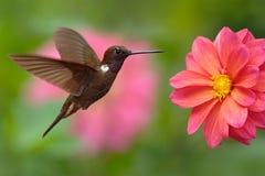 Inca de Brown del colibrí, wilsoni de Coeligena, volando al lado de la flor rosada hermosa, floración rosada en el fondo, Colombi Foto de archivo