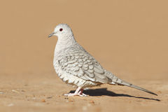 Inca Dove. (Columbina inca) - Texas stock image