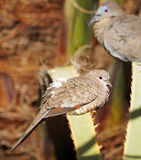 Inca Dove Stock Photography