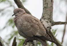 Inca Dove Royalty Free Stock Photography