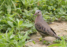 Inca Dove Royalty Free Stock Images