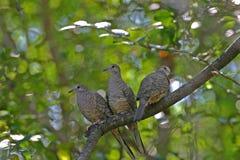 Inca Doves Royalty-vrije Stock Fotografie