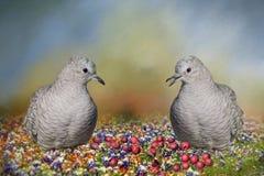 Inca Doves Royaltyfri Fotografi
