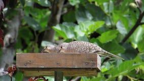Inca Doves Feeding i förlagematare stock video