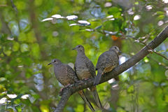 Inca Doves Royalty Free Stock Photography