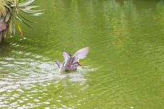 Inca Larosterna тройки Inca запятнал outdoors летать на пруд Стоковые Изображения