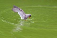 Inca Larosterna тройки Inca запятнал outdoors летать на пруд Стоковое Изображение