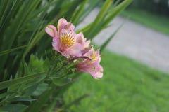 Inca Lily con el fondo verde Foto de archivo