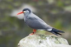 Inca Tern Stock Image