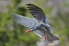 INCA TERN. A beautiful Inca Tern in flight Royalty Free Stock Photos