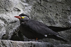 Inca Tern. Standing on one leg on a rock ledge stock photography