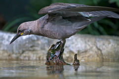 Inca Tern Stock Images