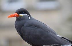 Inca Tern. A Beautiful inca tern, a south American sea bird found in Peru and Chile Stock Photography