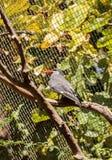 Inca tern bird called Larosterna inca Stock Photos