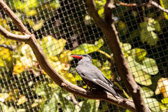 Inca tern bird called Larosterna inca Royalty Free Stock Photos