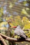Inca tern bird called Larosterna inca Stock Images
