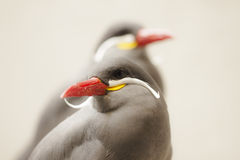 Inca tern bird. A couple of inca tern birds with orange beak and yellow with white moustache Royalty Free Stock Photography