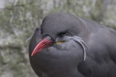 Inca tern portrait. Inca tern bird portraits close up Royalty Free Stock Photo