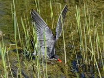 Inca tern bird swoops down into shallow water