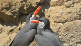Inca tern birds courting. Inca tern (Larosta inca) seabirds from South America Stock Photography
