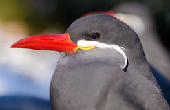 Inca tern, Bronx Zoo, NYC. Inca tern with its dark grey body, large white moustache on both sides of its head, and red-orange beak and feet, Bronx Zoo, New York Stock Image