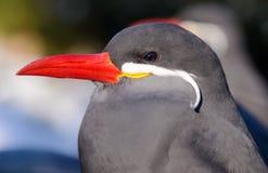Inca tern, Bronx Zoo, NYC Stock Image