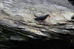 Inca Tern arkivfoton