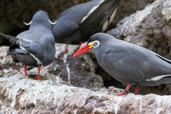 Close up of an inca tern. The inca tern feeds mostly on anchovies stock image