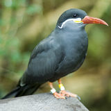 Inca Tern Full Body Royalty Free Stock Photography