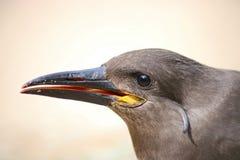 Inca tern. Head of an inca tern Royalty Free Stock Image