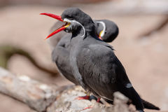 Inca Tern Royalty Free Stock Image