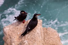 Inca Tern, inca de Larosterna, aninhando-se em Isla de Ballestas, Peru fotos de stock