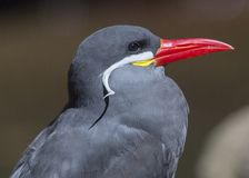 Free Inca Tern (Larosterna Inca) Royalty Free Stock Photos - 76183108