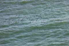 Inca tern, Larosterna inca, catch fish, Paracas, Peru Royalty Free Stock Images