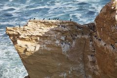 Inca tern, Larosterna inca, on the cliff, Paracas, Peru Stock Photo