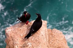 Inca Tern Larosterna inca Stock Photo