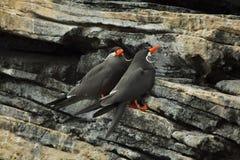 Inca tern Larosterna inca stock image