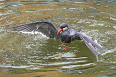 Inca Tern (Larosterna inca) Royalty Free Stock Image