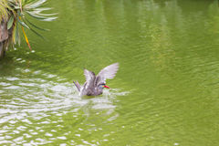 Inca Tern Larosterna inca spotted outdoors flying on pond. Stock Images