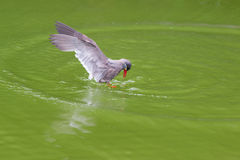 Inca Tern Larosterna inca spotted outdoors flying on pond. Stock Image