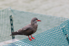 Inca Tern (Larosterna inca) spotted outdoors. Stock Photography