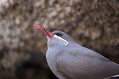 Inca Tern (Larosterna inca) Stock Image